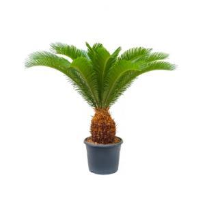 Cycas Palm revoluta stam 20 kamerplant