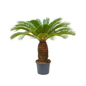 Cycas Palm revoluta stam XL kamerplant