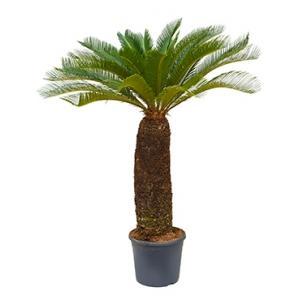 Cycas Palm revoluta XXXL kamerplant