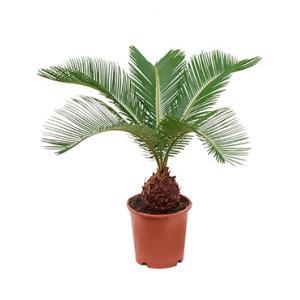 Korting Cycas Palm revoluta brutalex kamerplant