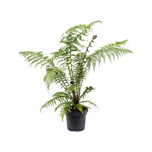 Dicksonia antartica M boomvaren kamerplant