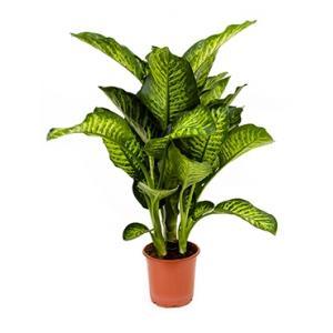 Dieffenbachia maroba S kamerplant