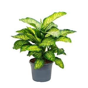 Dieffenbachia maroba M kamerplant