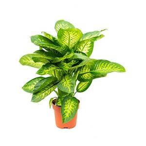 Dieffenbachia seguine reeva kamerplant