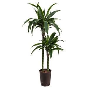 Dracaena arturo M hydrocultuur plant
