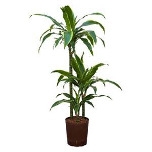 Dracaena arturo S hydrocultuur plant