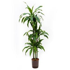 Dracaena arturo L hydrocultuur plant