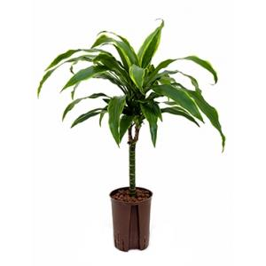 Dracaena arturo XXS hydrocultuur plant