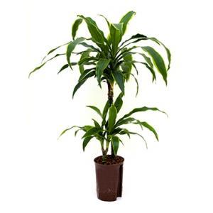 Dracaena arturo XS hydrocultuur plant