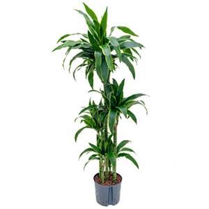Dracaena arturo XL hydrocultuur plant
