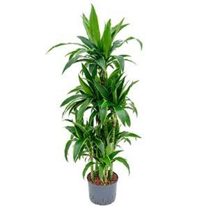 Dracaena arturo XXL hydrocultuur plant
