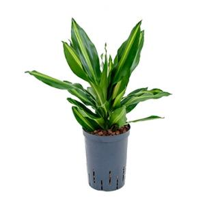 Dracaena cintho petrolina hydrocultuur plant