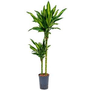 Dracaena cintho santa maria hydrocultuur plant