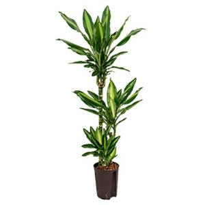 Dracaena cintho pelotas hydrocultuur plant