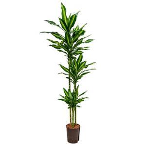 Dracaena cintho natal hydrocultuur plant