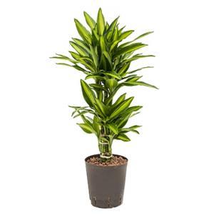 Dracaena cintho belem hydrocultuur plant