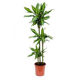 Dracaena cintho S kamerplant