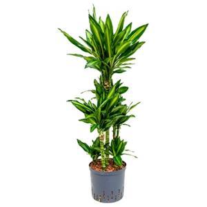 Dagaanbieding - Dracaena cintho santos hydrocultuur plant dagelijkse aanbiedingen