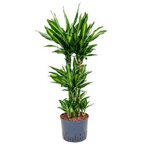 Dracaena cintho campinas hydrocultuur plant