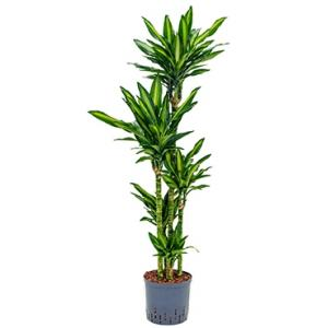 Dracaena cintho salvador hydrocultuur plant