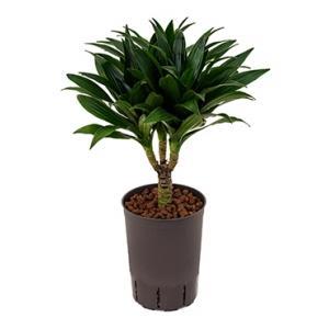 Dracaena compacta XS hydrocultuur plant