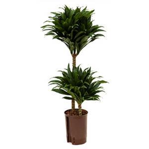 Dracaena compacta S hydrocultuur plant