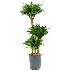 Dracaena compacta L hydrocultuur plant