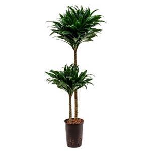 Dracaena compacta M hydrocultuur plant