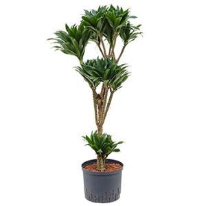 Dracaena compacta XXXL hydroculuur plant