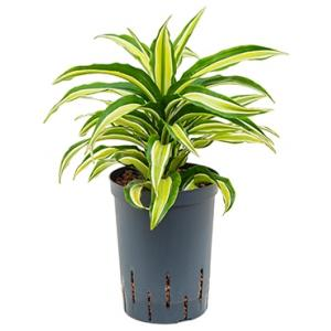 Dracaena compacta malaika hydrocultuur plant