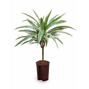 Dracaena deremensis cali hydrocultuur plant