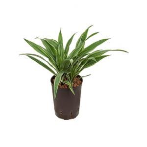 Dracaena deremensis popayan hydrocultuur plant