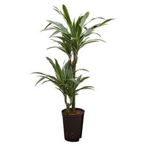 Dracaena deremensis tulua hydrocultuur plant