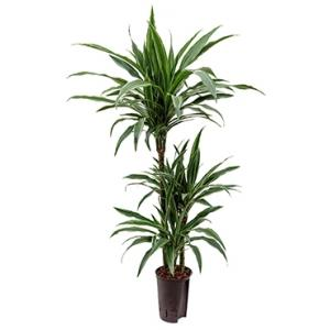 Dracaena deremensis barranquilla hydrocultuur plant