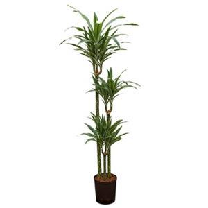 Dracaena deremensis moreno hydrocultuur plant