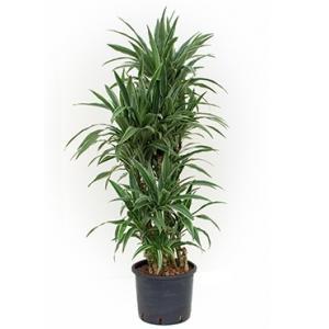 Dracaena deremensis bogata hydrocultuur plant
