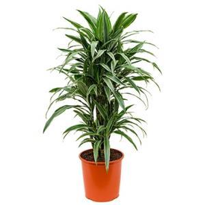 Dracaena deremensis L kamerplant