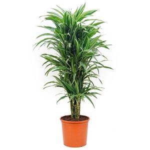 Dracaena deremensis XL kamerplant