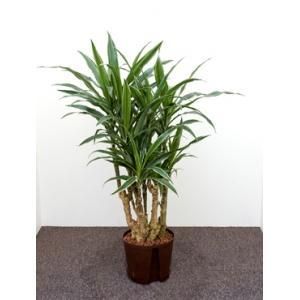 Dracaena deremensis cartagena hydrocultuur plant