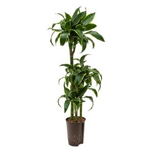 Dagaanbieding - Dracaena dorado guatin hydrocultuur plant dagelijkse aanbiedingen