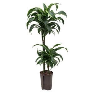 Dracaena dorado arica hydrocultuur plant