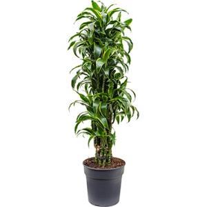 Dagaanbieding - Dracaena dorado L kamerplant dagelijkse aanbiedingen