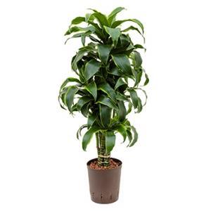 Dracaena dorado imilac hydrocultuur plant