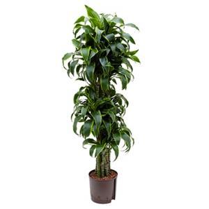 Dracaena dorado temuco hydrocultuur plant
