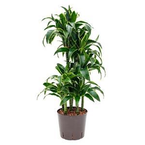 Dracaena dorado coyo hydrocultuur plant