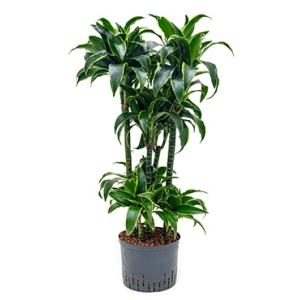 Dracaena dorado zorras hydrocultuur plant