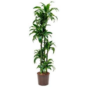 Dracaena dorado jaroma hydrocultuur plant