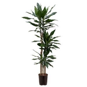 Dagaanbieding - Dracaena fragrans layla hydrocultuur plant dagelijkse aanbiedingen