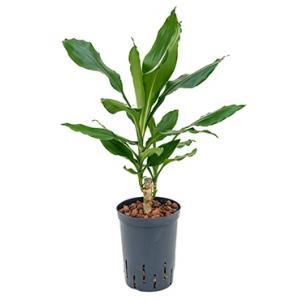 Dracaena fragrans cordoba hydrocultuur plant