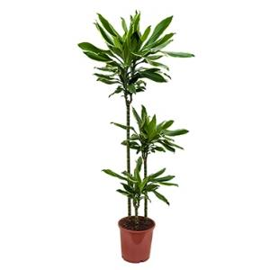 Dracaena gold dream kamerplant